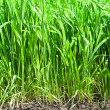Green grass and soil - Stock Photo