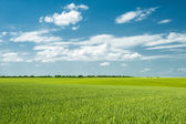Summer landscape. green field and clouds — Stock Photo