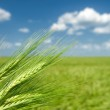 Green wheat. summer landscape. — Stock Photo #26428303