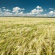 Wheaten field summer landscape — Stock Photo #26429465