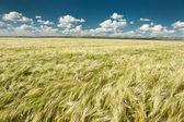 Wheaten field summer landscape — Stock Photo