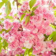 Stock Photo: Sakura, cherry blossom in spring