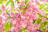 Sakura, cherry blossom in spring — Stock Photo