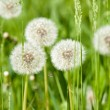 Dandelions on sunny meadow — Stock fotografie