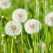 Stock Photo: Dandelions on sunny meadow