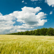 Sunny wheat field and blue sky — Stock Photo