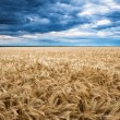 Dramatic sky on wheaten field — Stock Photo