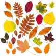 Autumn leaves collection isolated — Stock Photo