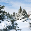 Fir trees covered by snow — Foto Stock