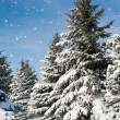 Fir trees covered by snow — 图库照片