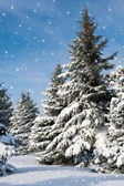 Fir trees covered by snow — Stock Photo