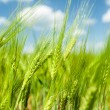 Sunny green wheat field closeup — Stock Photo