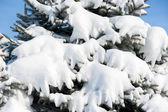 Kar ile kaplı göknar ağaçlarının arka plan — Stok fotoğraf