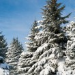 Fir trees covered by snow — Stock Photo #34178065