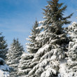 Fir trees covered by snow — Foto de Stock