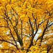 Bright yellow trees in autumn forest — Stock Photo