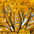 Bright yellow trees in autumn forest — Stock fotografie