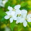 White cherry flowers in spring — Stock Photo