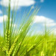 Sunny green wheat field macro — Stock Photo