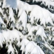 Snowy fir tree branches as background — Stock Photo