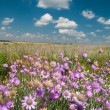 Wild flowers on the plain — Stock Photo