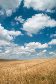 Sunny yellow wheat field and blue sky — Stock Photo
