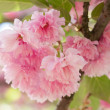 Flower on tree. sakura. cherry blossom in spring — Stock Photo #36882417