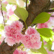 Flower on tree. sakura. cherry blossom in spring — Stock Photo #36882419