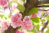 Flower on tree. sakura. cherry blossom in spring — Foto de Stock