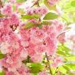 Flower on tree. sakura. cherry blossom in spring — Stock Photo #36939067