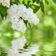 Stock Photo: White lilac blossom in spring