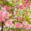 Flower on tree. sakura. cherry blossom in spring — Stock Photo #37334249