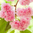 Flower on tree. sakura. cherry blossom in spring — Stock Photo #37435363