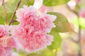 Flower on tree. sakura. cherry blossom in spring — Stock Photo