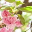 Flower on tree. sakura. cherry blossom in spring — Stock Photo #37676593
