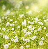 タンポポと日当たりの良い牧草地 — ストック写真
