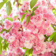 Flower on tree. sakura. cherry blossom in spring — Stock Photo #38343687