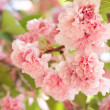 Flower on tree. sakura. cherry blossom in spring — Stock Photo #38778257