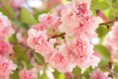 Flower on tree. sakura. cherry blossom in spring — Stock Photo