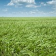 Green wheat field and blue sky spring landscape — Stock Photo #39127211