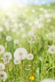 Sunny meadow with dandelions — Stock Photo