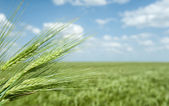 Green wheat field and blue sky spring landscape — Stock Photo