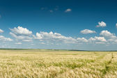 Wheat field and blue sky spring landscape — Stock Photo