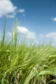 Green wheat field and blue sky spring landscape — Foto Stock