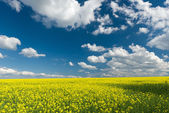 Yellow rapeseed field and blue sky, a beautiful spring landscape — Stock Photo