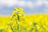 Yellow rapeseed flower macro photo — Stock Photo