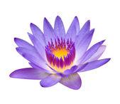 Purple lotus isolated on white — Stock Photo