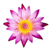 Pink lotus isolated on white — Stock Photo
