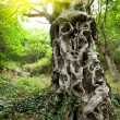 Stock Photo: Sweet chestnut tree trunk