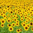 Royalty-Free Stock Photo: Sunflower field background